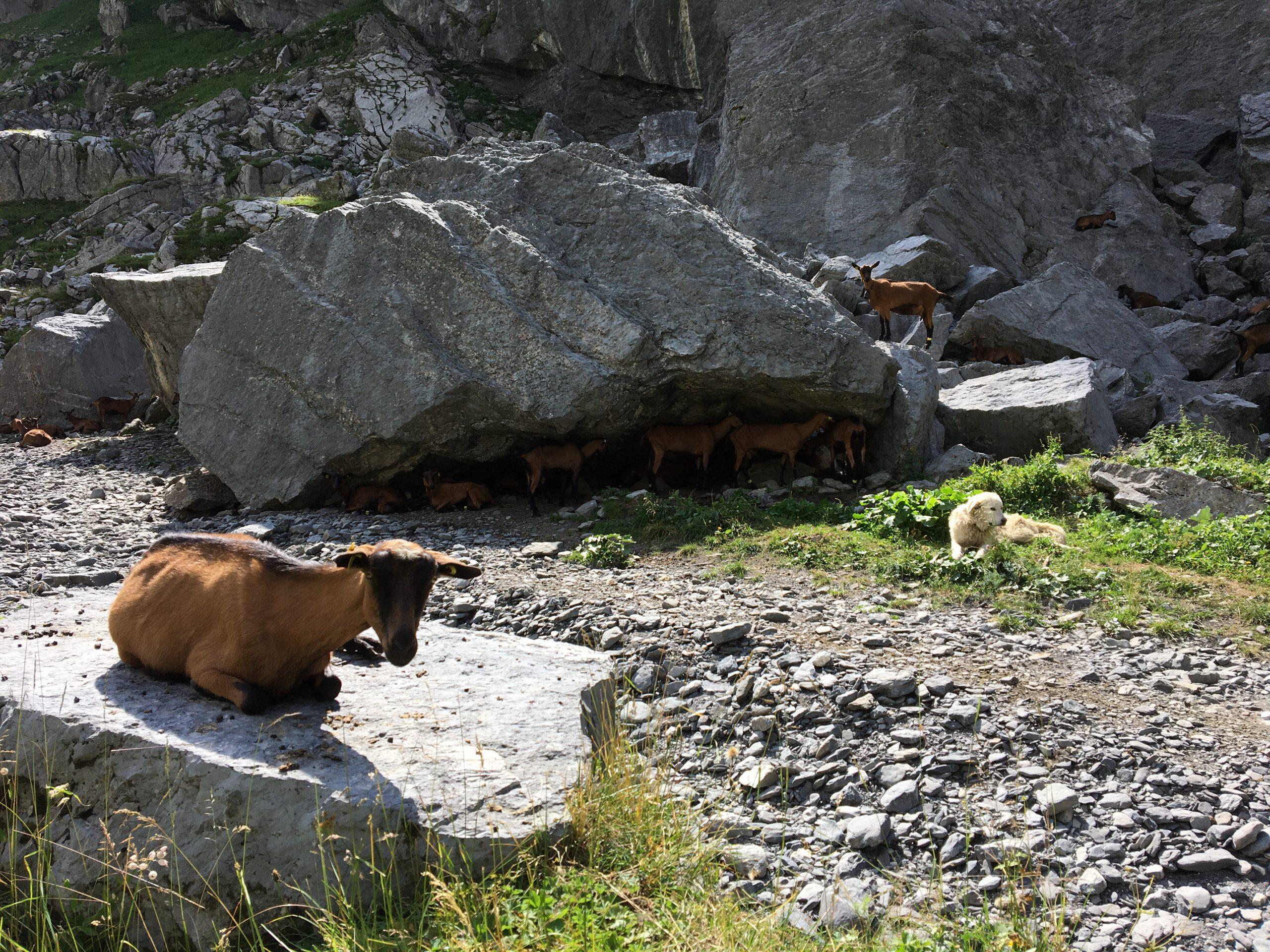 Alpagiste éleveuse de chêvres à Salvadon. Reportage intégral du 12 août 2020.
